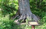 Jesion wyniosły - pomnik przyrody w Starej Hańczy