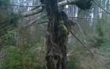 Wywrót świerka w dolinie rzeki Kamionki