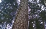 Pęknięcie wzdłuż pnia sosny, które mogło wywołać uderzenie pioruna