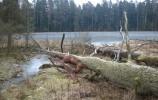 Dęby, które zostały kiedyś tam podcięte przez bobry, obumarły i legły na pło torfowcowe